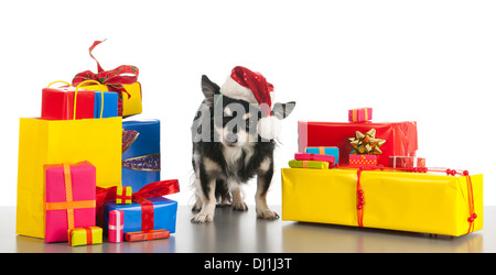 Little chihuahua between the colorful Christmas gifts - Stock Photo