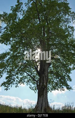 Old lime (Tilia) tree growing on the field near old Beniowa village Bieszczady National Park Poland Europe summer - Stock Photo