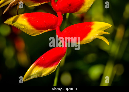 Close up of Heliconia pendula, Bali, Indonesia - Stock Photo