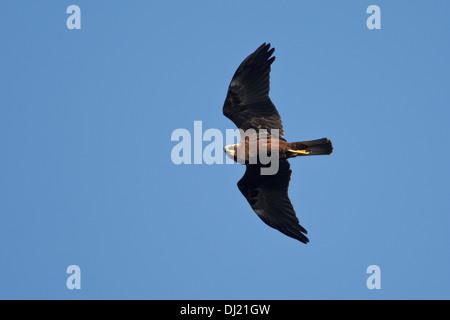 Marsh Harrier (Circus aeruginosus) in flight juvenile 1 cy - Stock Photo