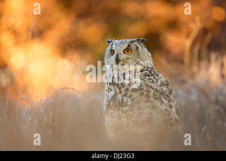 Siberian eagle owl (Bubo bubo sibiricus) in long grass - Stock Photo