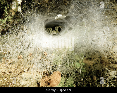 Funnel-web spider. This spider has a wasp in its jaws.Seven of its eight eyes are visible. - Stock Photo