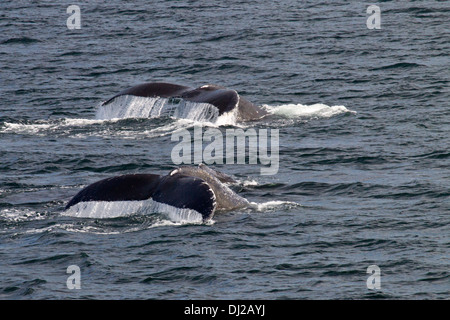 Pair of Humpback Whales (Megaptera novaeangliae) Diving simultanoeusly - Stock Photo