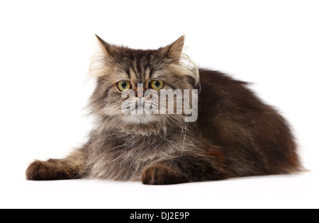 Persian cat over white background - Stock Photo