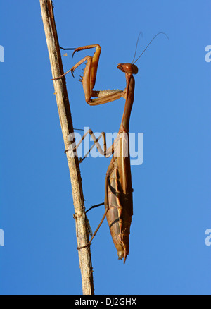 Praying Mantis on dry stem - Stock Photo