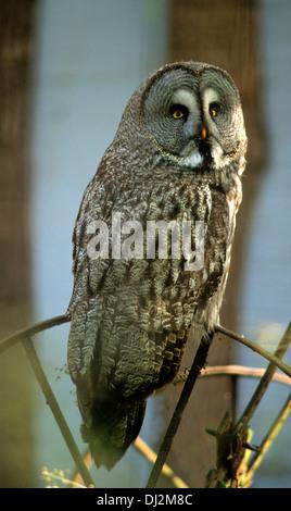 Bartkauz (Strix nebulosa), Great Grey Owl or Great Gray Owl (Strix nebulosa) - Stock Photo