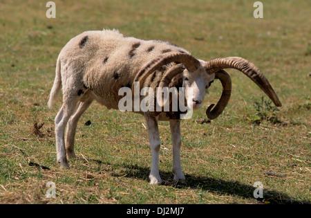 Jacob sheep, Hausschaf (Ovis orientalis aries), Vierhornschaf, Jacobschaf, Mehrhornschaf (Ovis ammon f. aries) - Stock Photo