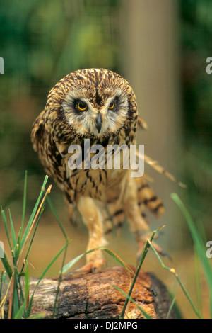 Sumpfohreule (Asio flammeus), Short-eared Owl (Asio flammeus) - Stock Photo