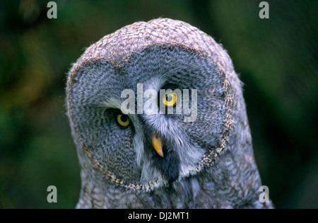 Great Gray Owl (Strix nebulosa), Bartkauz (Strix nebulosa), - Stock Photo