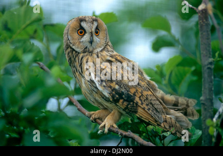 Waldohreule (Asio otus), Long-eared Owl - Asio otus (Strix otus) - Stock Photo