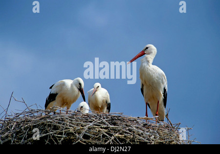 Weißstorch (Ciconia ciconia), White Stork (Ciconia ciconia) family - Stock Photo
