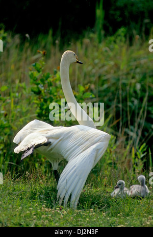 Whooper Swan, Singschwan (Cygnus cygnus) with young chicks, Singschwan (Cygnus cygnus) mit Jungen Küken - Stock Photo