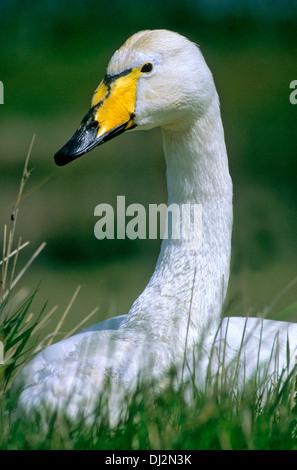 Whooper Swan, Singschwan (Cygnus cygnus) - Stock Photo