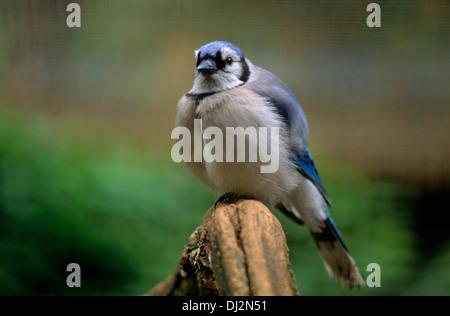 Blauhäher (Cyanocitta cristata) - Stock Photo