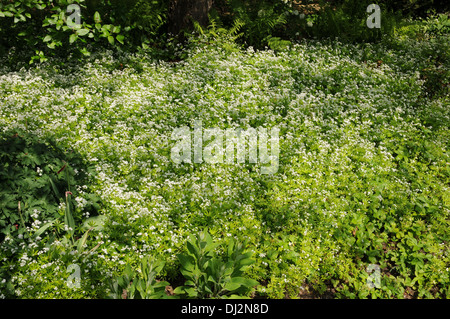 Woodruff - Stock Photo