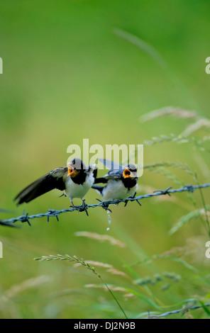 Barn Swallow (Hirundo rustica), Rauchschwalbe (Hirundo rustica) - Stock Photo