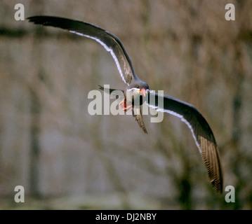 Inca Tern (Larosterna inca), Inkaseeschwalbe (Larosterna inca) - Stock Photo