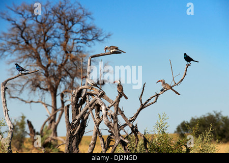 Birds of all kinds roam about Savute Elephant Camp by Orient Express in Botswna in Chobe National Park. - Stock Photo