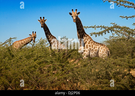 During the game we find many groups safari giraffes near the camp Savute Elephant Camp by Orient Express in Botswna - Stock Photo