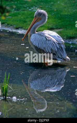 Pink-backed Pelican (Pelecanus rufescens), Rötelpelikan (Pelecanus rufescens) - Stock Photo