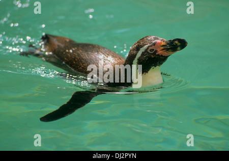 Humboldt-Pinguin (Spheniscus humboldti), Humboldtpinguin, Humboldt Penguin, Peruvian Penguin - Stock Photo