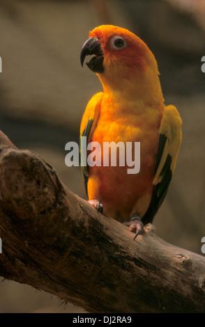 Sun Parakeet, Sun Conure (Aratinga solstitialis), Sonnensittich (Aratinga solstitialis) - Stock Photo