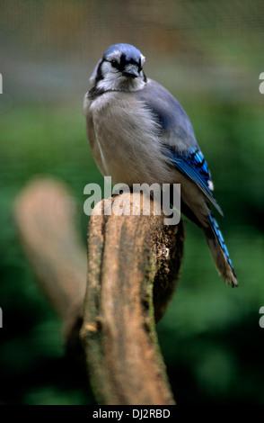 Blue Jay (Cyanocitta cristata), Blauhäher (Cyanocitta cristata) - Stock Photo