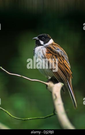 Common Reed Bunting, Emberiza schoeniclus, Rohrammer (Emberiza schoeniclus), Rohrspatz, - Stock Photo