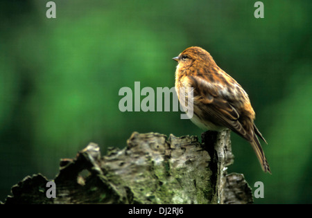 Common Redpoll (Carduelis flammea), Birkenzeisig (Acanthis flammea), (Carduelis flammea), Leinfink - Stock Photo