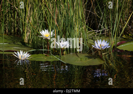 The flowers and small water lilies are a constant in the aquatic safari camp made from Eagle Island Camp by Orient - Stock Photo