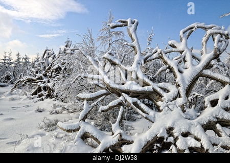 Tree roots in the snow - Stock Photo