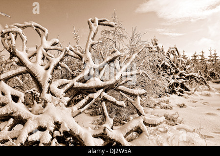 uprooted in winter sepia - Stock Photo