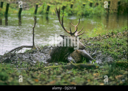 red deer (Cervus elaphus) in the wallow, Rothirsch in der Suhle, Rothirsch (Cervus elaphus) - Stock Photo