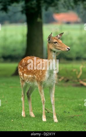 fallow deer (Dama dama), Damwild weiblich, Kalb - Stock Photo
