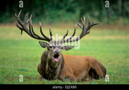 red deer (Cervus elaphus) the rutting season screaming,, Rothirsch (Cervus elaphus), Rothirsch zur Brunftzeit schreiend, - Stock Photo