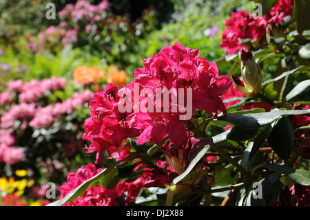 Rhododendron Nova Zembla - Stock Photo