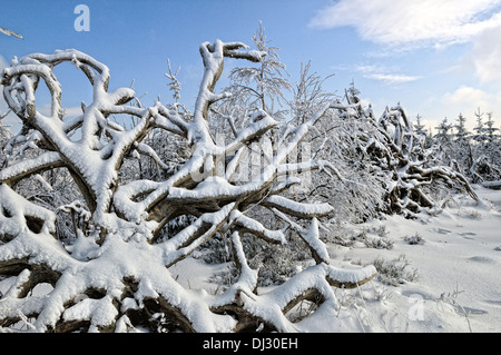 uprooted in winter - Stock Photo