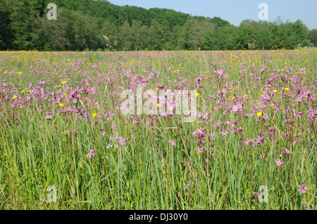 Ragged robin - Stock Photo