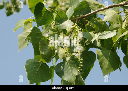 Canadian poplar - Stock Photo
