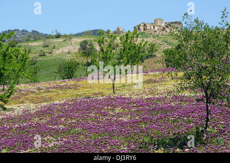 Field of lilac spring flowers and trees with a ruined cottage to the rear, Near Ardales, Malaga Province, Andalusia, - Stock Photo