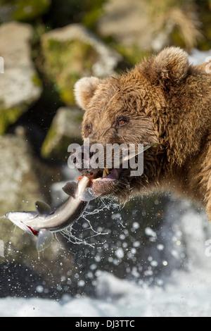 USA, Alaska, Katmai National Park, Coastal Brown Bear (Ursus arctos) catches Red Salmon - Stock Photo