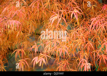 colourful koto no ito, japanese maple tree in the fall  Jane Ann Butler Photography  JABP933 - Stock Photo