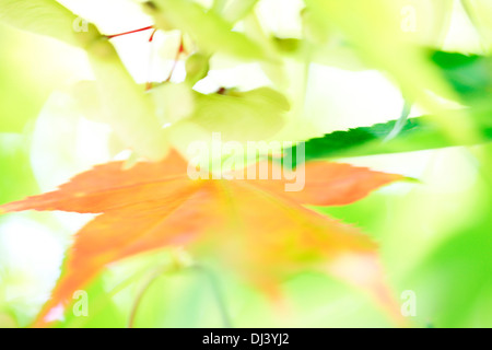 atmospheric and dreamy red maple tree with winged samaras   Jane Ann Butler Photography  JABP916 - Stock Photo