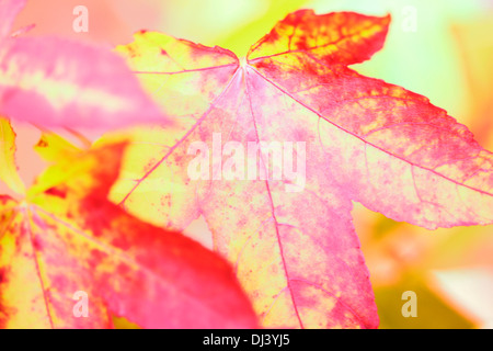 maple leaves, bright and bold autumn colours Jane Ann Butler Photography JABP915 - Stock Photo