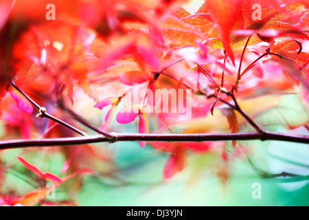 atmospheric and dreamy red maple tree with winged samaras  Jane Ann Butler Photography  JABP912 - Stock Photo