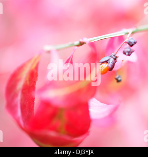 lovely red autumn leaves and fruit of the euonymus alatus bush  Jane Ann Butler Photography  JABP944 - Stock Photo