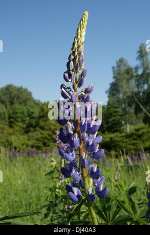 Lupinus polyphyllus, Lupine, lupin - Stock Photo