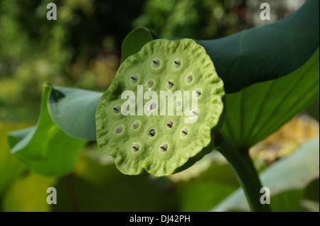 Nelumbo nucifera, Lotosblume, lotus - Stock Photo