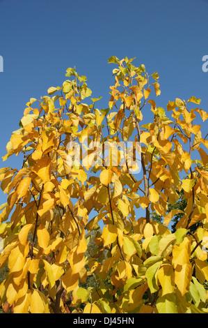 Magnolia denudata, Yulan Magnolie - Stock Photo
