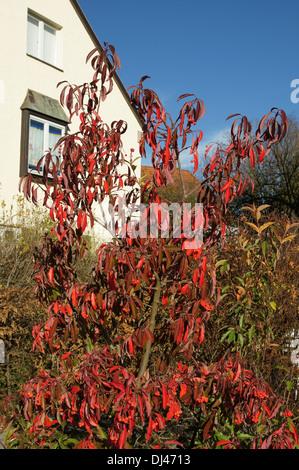 Photinia, Glanzmispel - Stock Photo